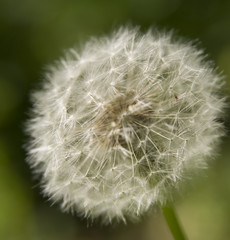 Close-up white dandelion on a green background
