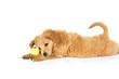 canvas print picture - Adorable little puppy