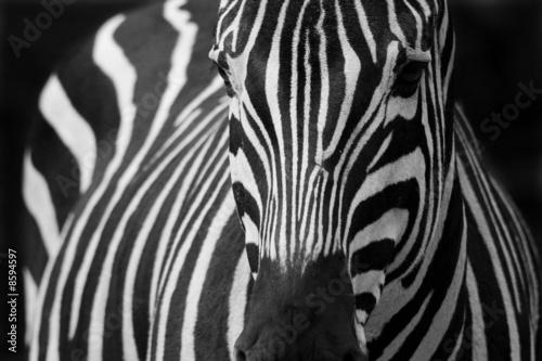 Tuinposter Zebra zèbre 2