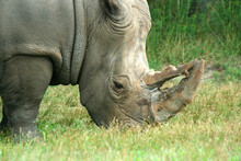 White Rhinoceros Eating On The Savannah