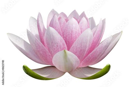 Garden Poster Lotus flower fleur de lotus sur fond blanc