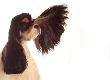 American Cocker Spaniel With E...