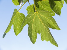 Leaves Of Fig Isolated On Back...