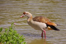 An Egyptian Goose Standing In The Water