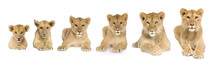 Lion Cub Growing From 3 To 9 M...