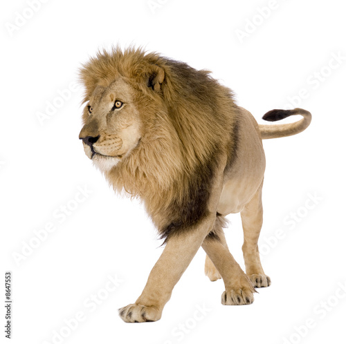 Poster Lion Lion (8 years) - Panthera leo