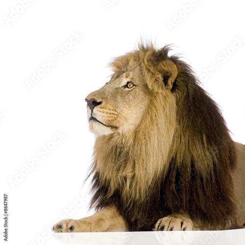 Fototapety, obrazy: Lion (4 and a half years) - Panthera leo