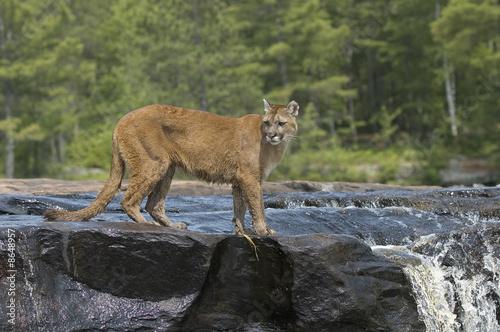 Poster Puma Cougar