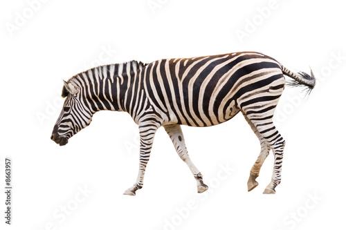 Wall Murals Zebra Zebra