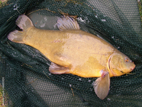 Vászonkép tench in landing net