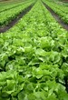 lettuce, field, vegetable, agriculture