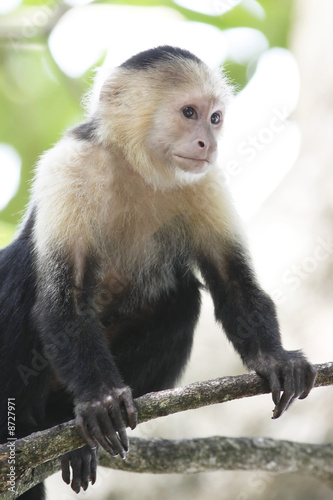 Valokuva  White-Faced Capuchin Monkey