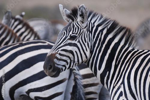 Door stickers Zebra Zebra close-up