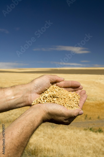 canvas print motiv - JEANNE : n bClose up of hands holding wheat with sky and field