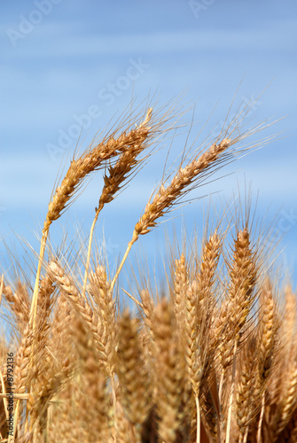 Canvas Prints Culture Ripe Wheat Detail Against Blue sky