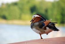 Colorful Mandarin Duck Resting Near The Lake