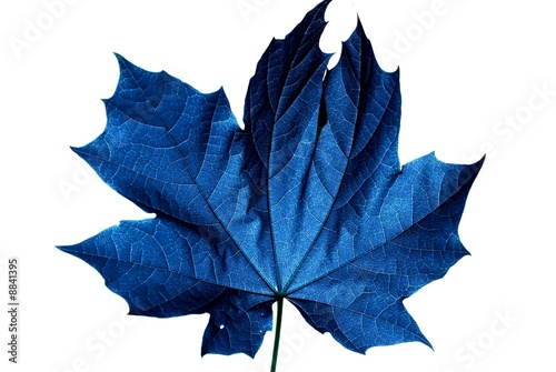 blaues ahornblatt © masterric3000