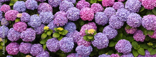 Cadres-photo bureau Hortensia hortensias