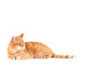 canvas print picture - ginger cat