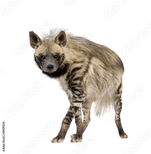 Foto op Canvas Hyena Striped Hyena in front of a white background