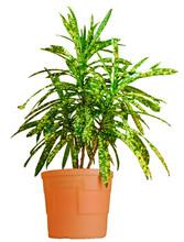 House Croton Plant In Broun Pot Close Up