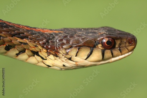 Garter Snake - Buy this stock photo and explore similar
