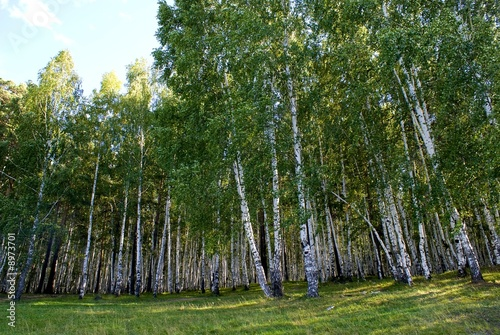 Photo Stands Birch Grove Forest