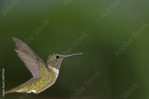 canvas print motiv - Robert Young : Hummingbird profile