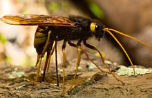Ichneumon Fly Drilling Bark