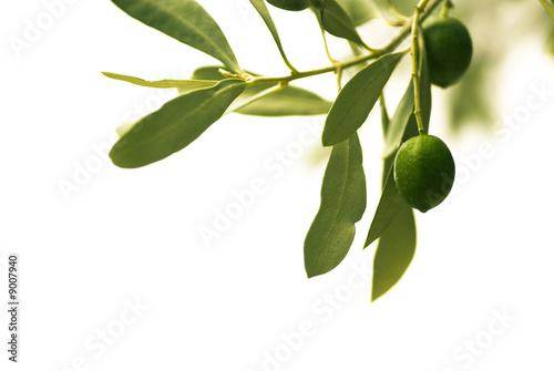 Papiers peints Oliviers décoration florale - olivier isolé sur un fond blanc