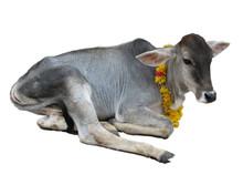 Vache Sacrée (veau)