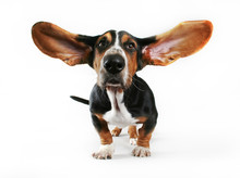 A Basset Hound With His Ears F...