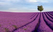 Rich Lavender Field In Provenc...
