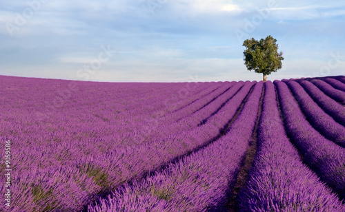 Tuinposter Blauwe hemel Rich lavender field in Provence with a lone tree