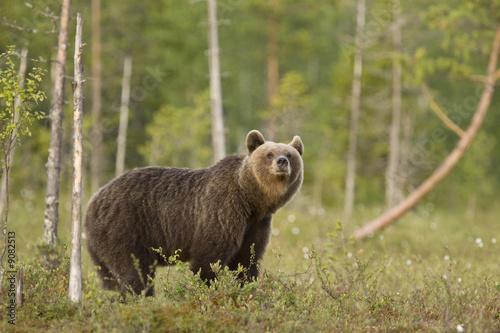 Brown bear, Finland. Wallpaper Mural