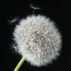 Fluffy dandelion with seeds flying out closeup on black