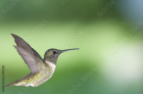 canvas print motiv - Robert Young : Hummingbird in profile 2
