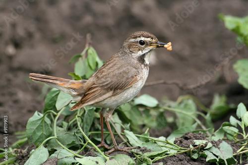 Fotografía  Bluethroat (female) with ant eggs in it's beak
