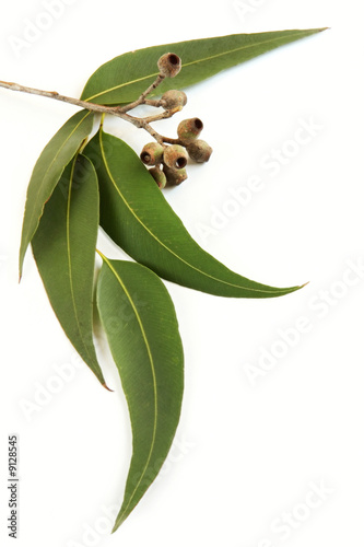 Gum leaves and gum nuts