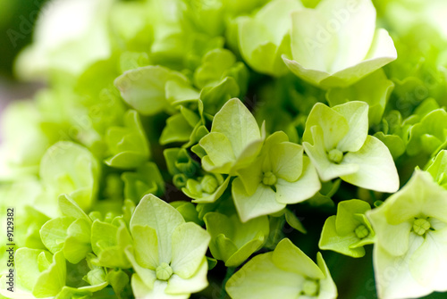 Tuinposter Hydrangea Hydrangea Nortensi with soft green colors