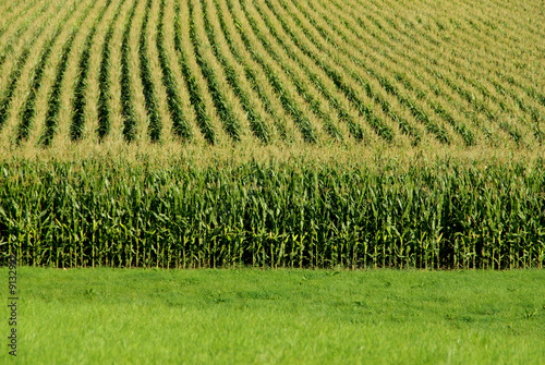 A close up view of a cornfield Fotobehang