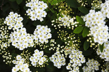 Closeup Of Flowering Shrub Bridal Wreath Spirea