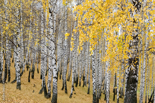 Photo Stands Birch Grove magic birch grove in autumn paints