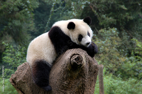 Panda in a relaxed mood in a Chinese panda preserve Canvas Print
