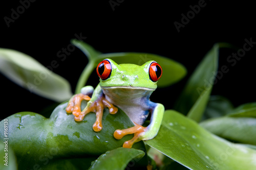 frog in a plant isolated on solid black - a red-eyed tree frog