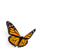 Monarch Butterfly On White Bac...