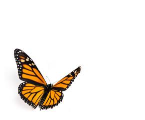 Fototapeta Monarch Butterfly on White Background
