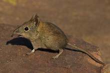 Elephant Shrew On Rock With Op...