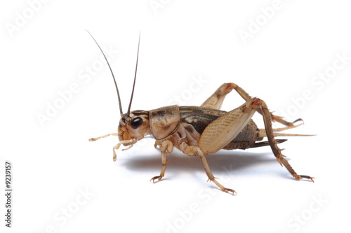 Brown cricket isolated on white
