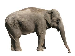 Elephant Asian isolated on white background